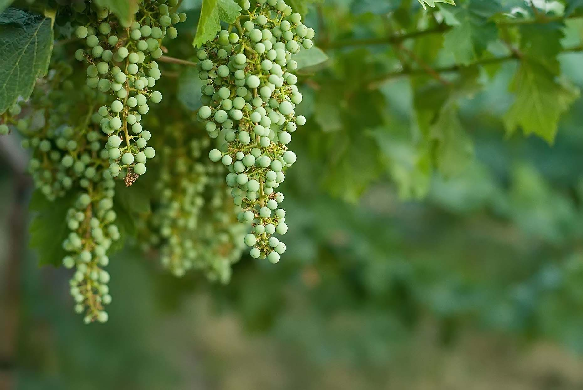 Young Cabernet Sauvignon grapes