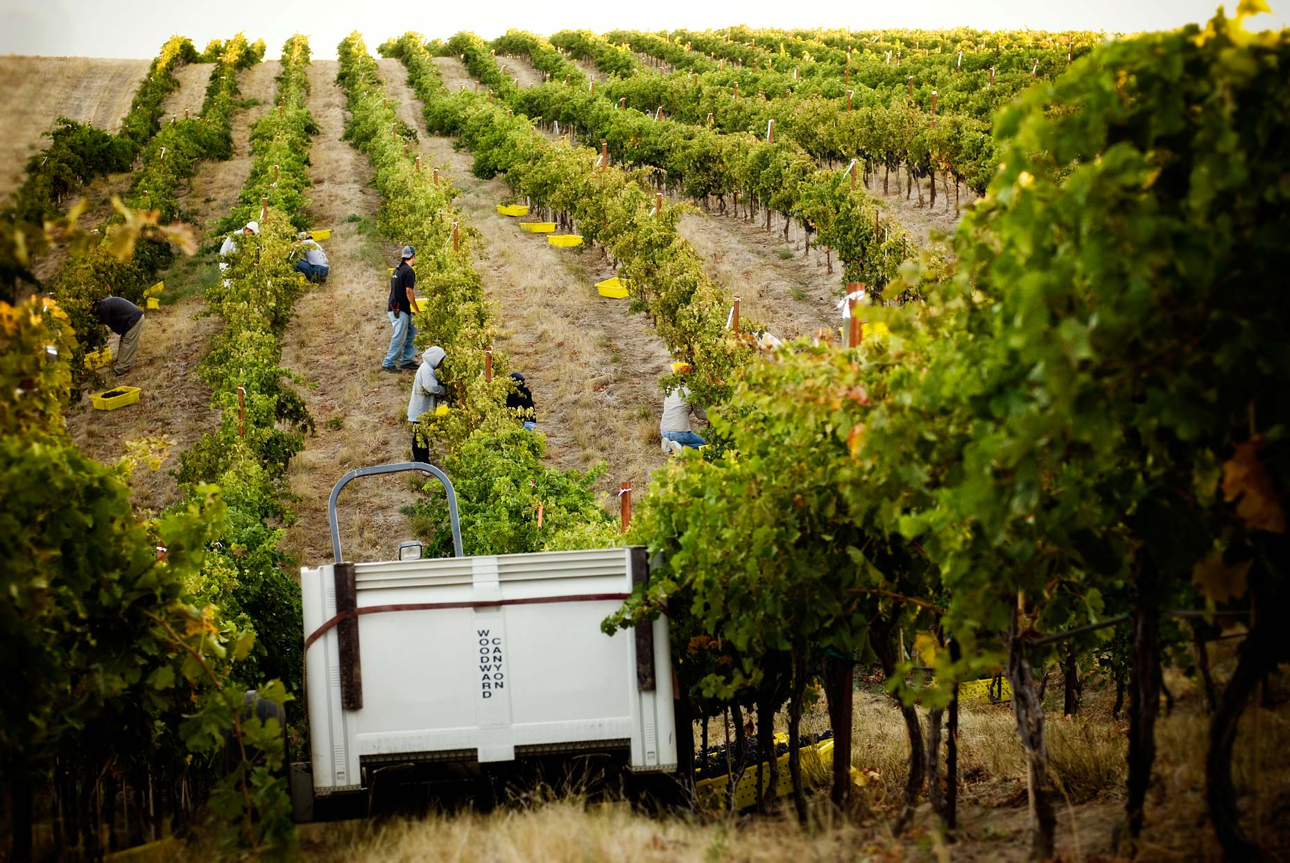 Harvest at the Woodward Canyon Estate Vineyard